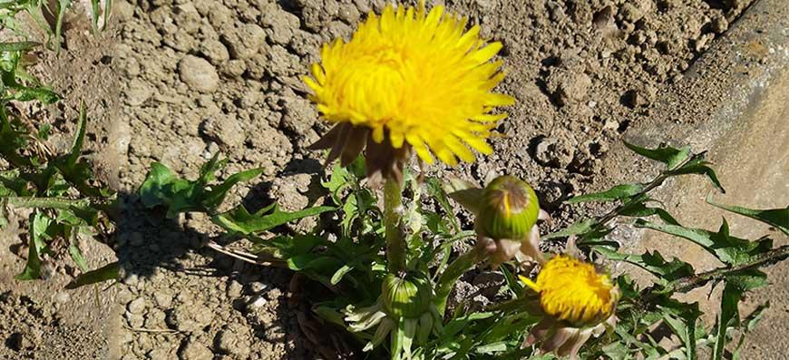 Pomlad ponuja: regrat